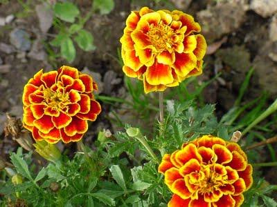 marigolds,