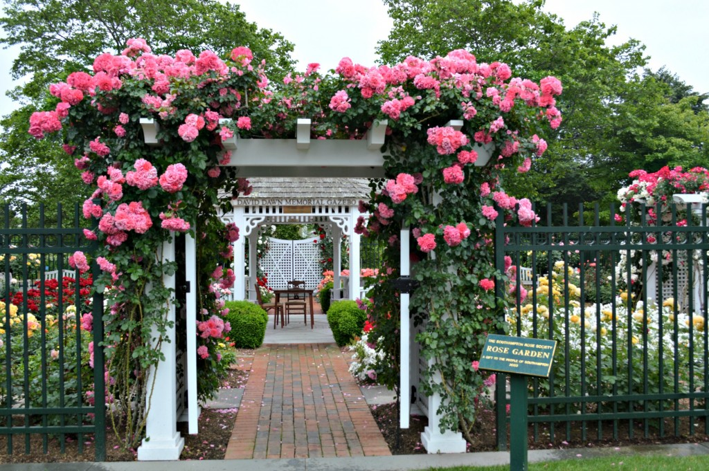 Pink-roses-on-an-arbor