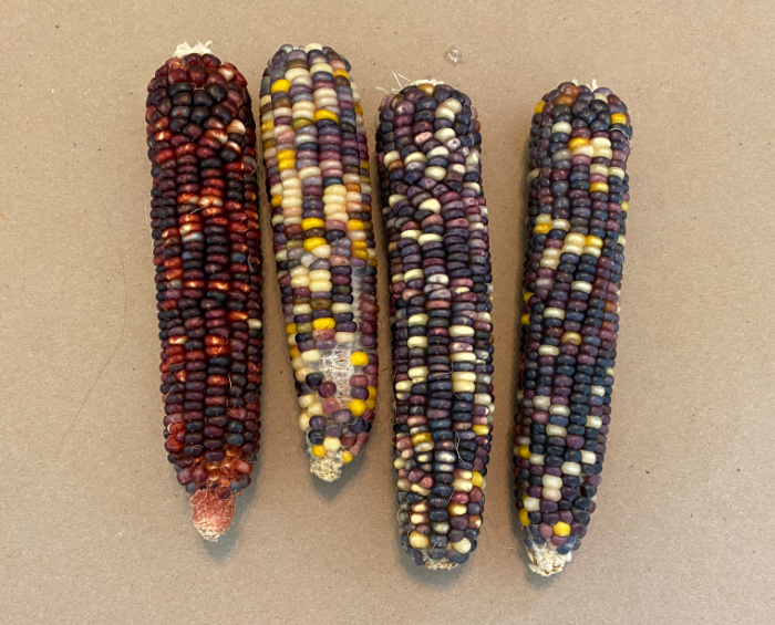 4 ears of indian corn laying on a piece of brown kraft paper
