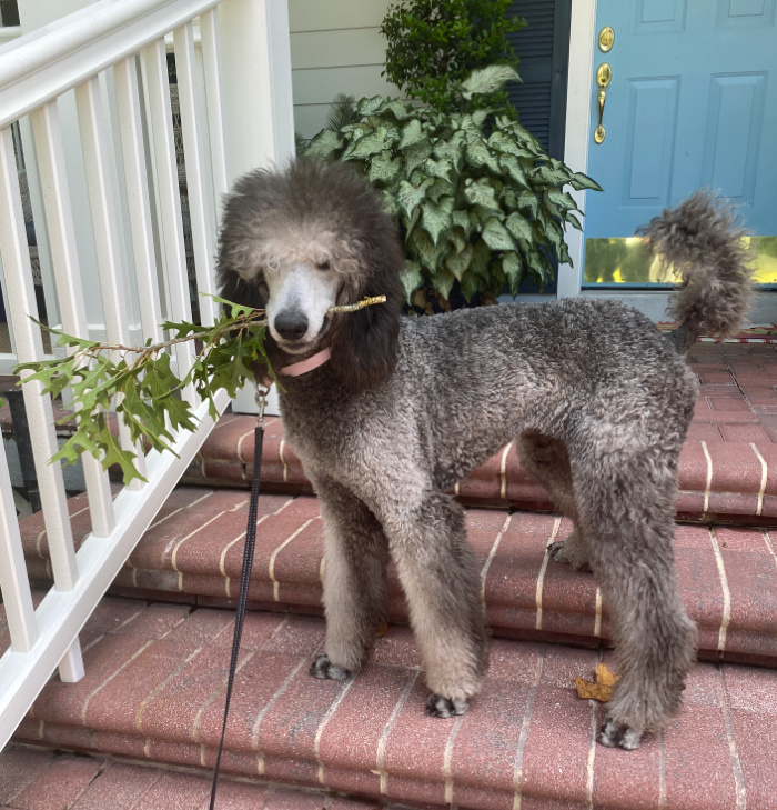A black and silver poodle standing on brick steps holding an oak leaf branch in her mouth with a blue front door behind her