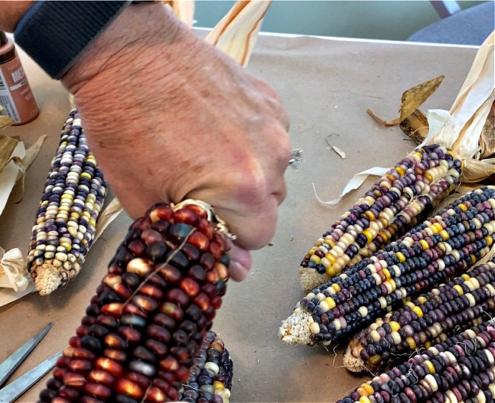 several ears of indian corn one red one being held in a hand